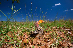 Southern yellow-billed hornbill (Tockus leucomelas) searching for food in leaf litter, Kruger National Park, South Africa.  -  Neil Aldridge