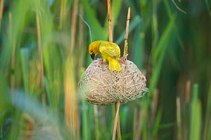 Male African golden weaver (Ploceus subaureus) tending to its nest in reedbeds, Simangaliso Wetland Park, KwaZulu-Natal, South Africa.  -  Neil Aldridge