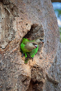 Brown-headed parrots (Poicephalus cryptoxanthus) perched in the entrance to their nest in the trunk of a Baobab tree (Adansonia digitata),  Kruger National Park. South Africa.  -  Neil Aldridge