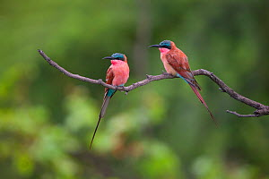 Two Carmine bee-eaters (Merops nubicoides) perched on a dead branch, Venetia Limpopo Nature Reserve, Limpopo Province, South Africa.  -  Neil Aldridge
