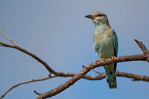 European roller (Coracias garrulus) perched in a tree, Kruger National Park, South Africa.  -  Neil Aldridge