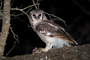 Verreaux's eagle owl (Bubo lacteus) feeding on a Genet (Genetta sp.) at night in riverine woodland, Mapungubwe National Park, Limpopo Province, South Africa. - Neil Aldridge