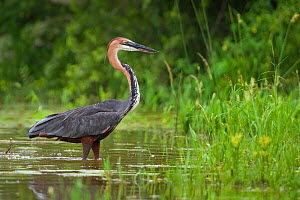 Goliath heron (Ardea goliath) standing in the waters, Lake Panic, Kruger National Park, South Africa. - Neil Aldridge