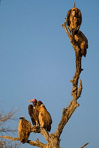 Lappet-faced vulture (Torgos tracheliotos) resting on a dead tree alongside White-backed vultures (Gyps africanus), Kruger National Park, South Africa. Vulnerable species.  -  Neil Aldridge