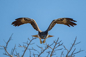 Martial eagle (Polemaetus bellicosus) flying, Kruger National Park, South Africa.  -  Neil Aldridge