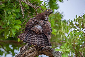 Martial eagle (Polemaetus bellicosus) preening itself after rainstorm, Kruger National Park, South Africa. Vulnerable.  -  Neil Aldridge