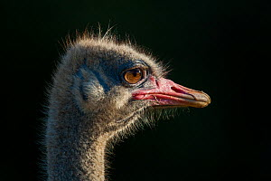 Male Ostrich (Struthio camelus) head portrait, lit by late afternoon light, Kariega Game Reserve, Eastern Cape, South Africa. - Neil Aldridge