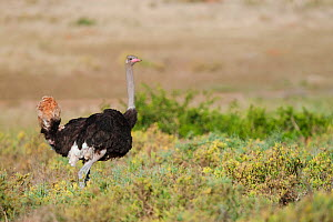 Male Ostrich (Struthio camelus) displaying using its tail and wing feathers, Kariega Game Reserve, Eastern Cape, South Africa. - Neil Aldridge