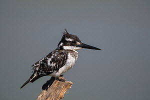 Pied kingfisher (Ceryle rudis) perched on a dead branch at a waterhole, Venetia Limpopo Nature Reserve, Limpopo Province, South Africa.  -  Neil Aldridge