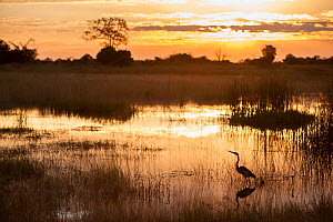 Purple heron (Ardea purpurea) fishing at sunset,  Zibadianja Lagoon, Selinda Reserve, Northern Botswana.  -  Neil Aldridge