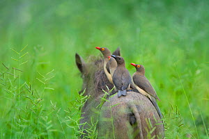 Red-billed oxpeckers (Buphagus erythrorhynchus) adult and young on the back of Common warthog (Phacochoerus africanus) through grassland in summer Mapungubwe National Park, South Africa.  -  Neil Aldridge
