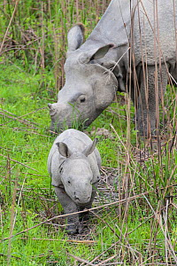 Indian rhinoceros (Rhinoceros unicornis) mother and calf (age 1-2 weeks) Kaziranga National Park, India. - Suzi Eszterhas