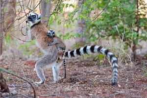 Ring tailed lemur (Lemur catta) female carrying two-week baby on back, standing upright to feed on flowers, Berenty Private Reserve, Madagascar - Suzi Eszterhas