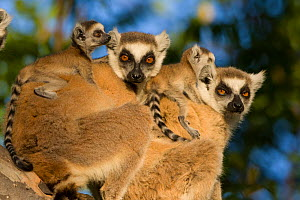 Ring tailed lemur (Lemur catta) mothers with two-week babies. Berenty Private Reserve, Madagascar  -  Suzi Eszterhas
