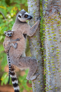 Ring tailed lemur (Lemur catta) mother with two-week-old baby on back feeding on spiny forest tree (Alluaudia procera) Berenty Private Reserve, Madagascar - Suzi Eszterhas