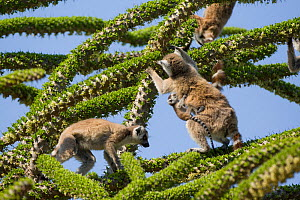 Ring tailed lemurs (Lemur catta) feeding on Spiny forest tree (Didierea trollii).Berenty Private Reserve, Madagascar - Suzi Eszterhas