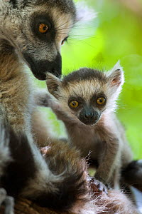 Ring tailed lemur (Lemur catta) mother and very young (1-2 week) baby. Berenty Private Reserve, Madagascar.  -  Suzi Eszterhas