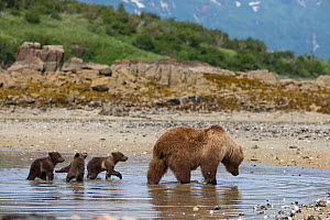 Brown Bear (Ursus arctos) mother and 3-4 month cubs foraging for clams. Katmai National Park, Alaska, USA, June. - Suzi Eszterhas