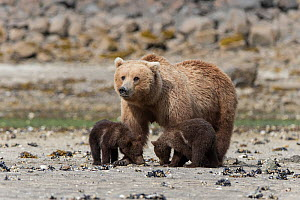 Brown bear (Ursus arctos) mother and 3-4 month cubs, Katmai National Park, Alaska, USA, June. - Suzi Eszterhas
