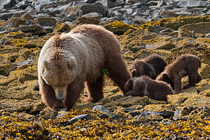 Brown Bear (Ursus arctos) mother and 3-4 month cubs foraging for clams, Katmai National Park, Alaska, USA. June. - Suzi Eszterhas