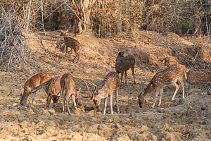 Axis Deer (Axis axis) herd grazing, Tadoba National Park, India. - Suzi Eszterhas