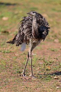 Greater rhea (Rhea americana) walking through Pantanal, Brazil.  -  Suzi Eszterhas