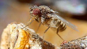Fruit fly (Drosophila melanogaster) cleaning itself on apple and regurgitating. UK  -  Steve Downer
