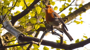European robin (Erithacus rubecula) singing in birch tree Millison's Wood, Birmingham, UK.  -  Steve Downer