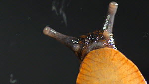 Black arion slug (Arion ater) moving, viewed from beneath showing ripples or pedal waves used for locomotion.  -  Steve Downer