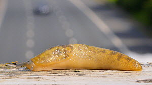 Yellow slug (Limax maximus) moving across bridge over road with traffic in the background. Birmingham, UK. June.  -  Steve Downer