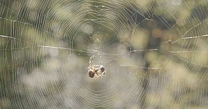 Garden spider (Araenus diadematus) on web, wrapping prey, West Wales, UK, October. - SINCLAIR STAMMERS