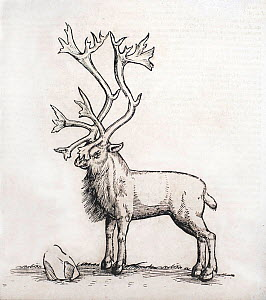 Historical illustration of Reindeer, from woodcut from Icones Animalium by Gesner, 1560.  -  Paul  D Stewart