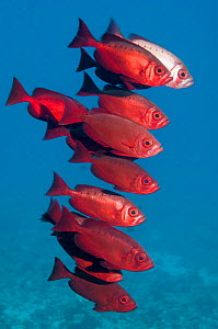 Big-eye fish (Priacanthus hamrur).  Egypt, Red Sea.  -  Georgette Douwma