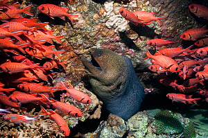 Giant moray (Gymnothorax javanicus) with Red soldierfish (Myripristes berndti) shoal, Egypt, Red Sea.  -  Georgette Douwma