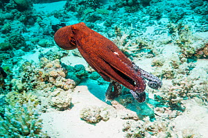 Day octopus (Octopus cyanea) swimming over coral reef.  Egypt, Red Sea.  -  Georgette Douwma