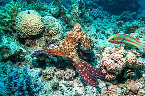 Common day octopus (Octopus cyanea) hunting on coral reef watched by Klunzinger's wrasse (Thalassoma klunzingeri).  Egypt, Red Sea.  -  Georgette Douwma