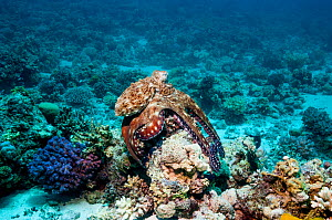 Common day octopus (Octopus cyanea) hunting over coral reef.  Egypt, Red Sea.  -  Georgette Douwma