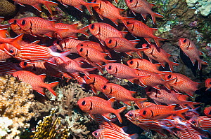 Red soldierfish (Myripristis murdjan) school on wreck.  Egypt, Red Sea.  -  Georgette Douwma