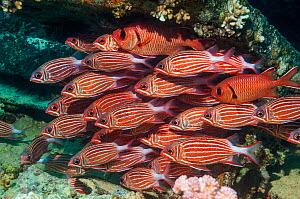 Crown squirrelfish (Sargocentron diadema) shoal, at rest on coral reef.  Egypt, Red Sea.  -  Georgette Douwma