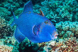 Blue triggerfish (Pseudobalistes fuscus).  Egypt, Red Sea.  Indo-Pacific.  -  Georgette Douwma