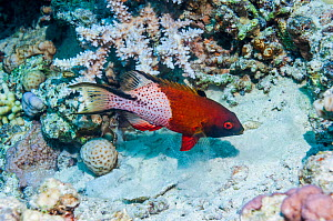 Lyretail hogfish (Bodianus anthioides),  Egypt, Red Sea.  -  Georgette Douwma