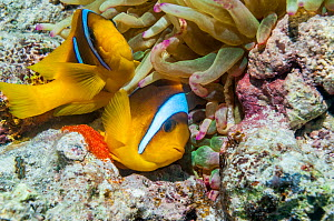Red Sea anemonefish (Amphiprion bicinctus) female laying eggs with the male close behind to fertilize them,  at base of Magnificent anemone (Heteractis magnifica).  Egypt, Red Sea.  -  Georgette Douwma