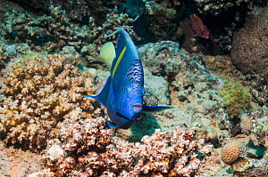 Yellowbar angelfish (Pomacanthus maculosus) swimming over rocky reef, Egypt, Red Sea.  -  Georgette Douwma