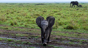 Elephant (Loxodonta africana) calf approaching with curiosity . Maasai Mara National Reserve, Kenya. December  -  Anup Shah