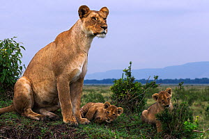 Lioness with a playful cubs aged 3-6 months  (Panthera leo). Maasai Mara National Reserve, Kenya. December  -  Anup Shah