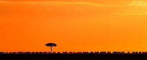 Silhouette of Acacia tree at sunrise, Maasai Mara National Reserve, Kenya. December  -  Anup Shah