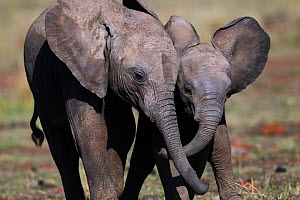 Elephant (Loxodonta africana) calves playing together . Maasai Mara National Reserve, Kenya. December  -  Anup Shah