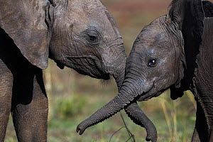 Elephant (Loxodonta africana) calves playing together, Maasai Mara National Reserve, Kenya. December  -  Anup Shah