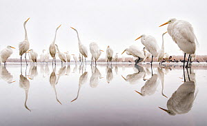 Group of Great egrets (Ardea alba) reflected in still water, with Hooded crows (Corvus cornix), Lake Csaj, Pusztaszer, Hungary. Winner of the Portfolio category of the Terre Sauvage Nature Images Awar... - Bence  Mate