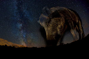 Wild boar (Sus scrofa) at night with the milky way in the background, Gyulaj, Tolna, Hungary. August. Taken using long exposure with flash at night. Winner of the Mammals Category of the GDT Awards 20... - Bence  Mate